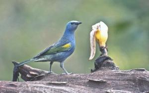 Animais/Sanhaçu-de-encontro-amarelo