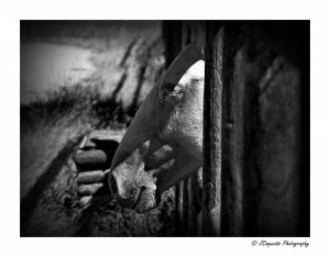 Animais/Isabel