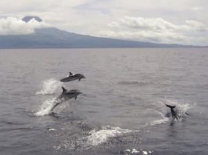 Animais/Golfinhos  dos Açores
