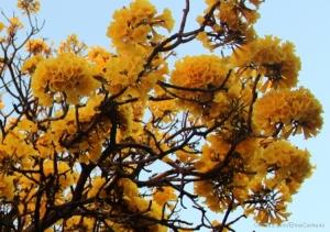 Outros/Ipê amarelo