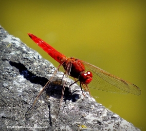 """/RED """"DRAGON""""..."""