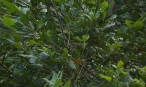 Paisagem Natural/Bis-bis-pássaro-madeira