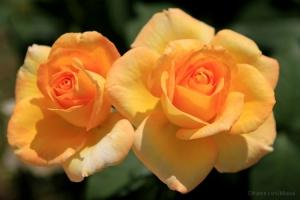 /as amarelas