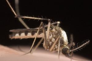 Macro/Mosquito II