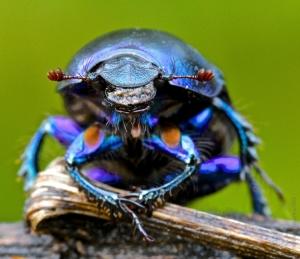 Macro/Escaravelho Roxo