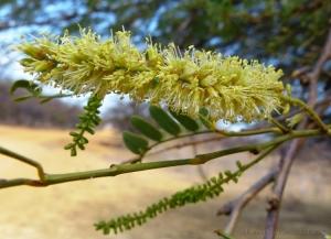 Macro/Flor da Algaroba...