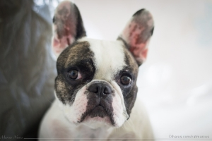 Animais/Lola - Bulldog Frances