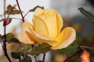 /Uma rosa para ti