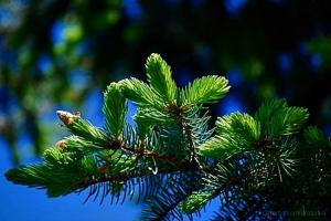 /Pinheirinho de ramos verdinhos