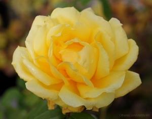 /Uma rosa amarela