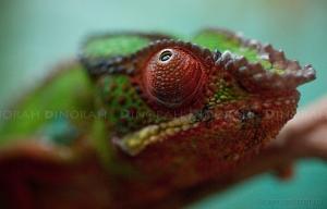 Animais/Camaleão, Madagáscar