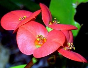 /Flores Vermelhas