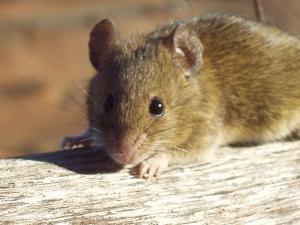 Macro/Simpático rato