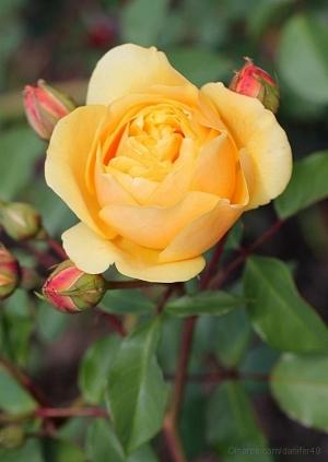 /Uma rosa para todos
