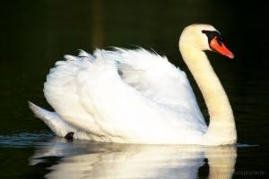 Outros/Cisne-branco
