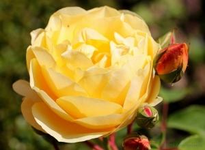/A rosa, para todos os que se amam verdadeiramente