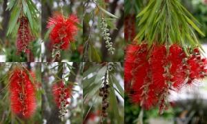 Outros/escovilhão-carmesim (Callistemon citrinus)