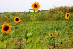 Paisagem Natural/Já a desejar o Sol...