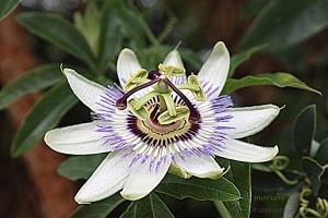 Macro/'pasión' Passiflora