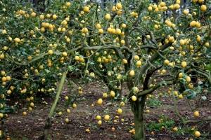 Paisagem Natural/lemon tree