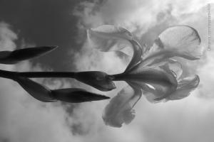 Macro/O voo do lírio branco