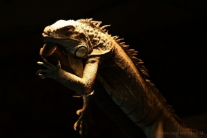 Outros/iguana