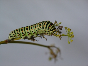 Macro/Papilio machaon