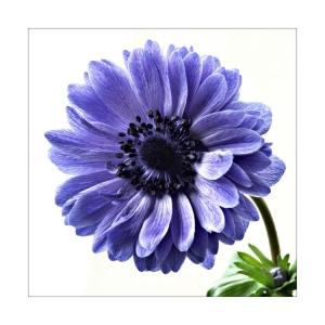 /Anémona azul