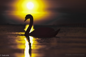 /Cisne ao por do sol