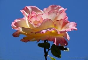 /Uma rosa, para as senhoras do site