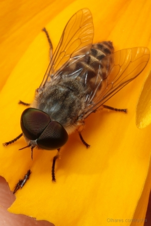 /estou com a mosca