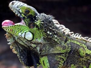 Animais/Iguana