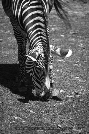 /A zebra