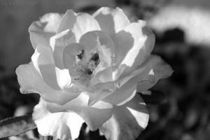 Outros/La rose ... noir et blanc