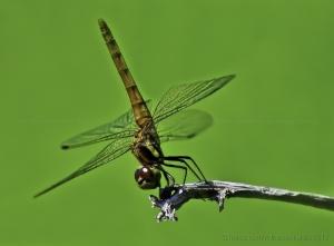 Macro/Dragonfly