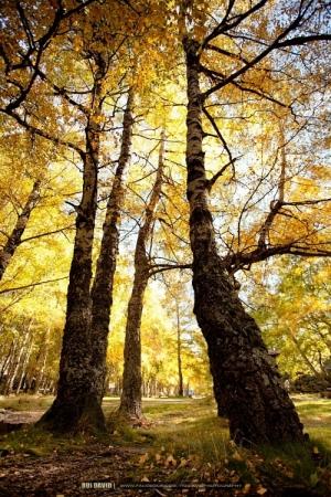 Paisagem Natural/... yellow trees ...