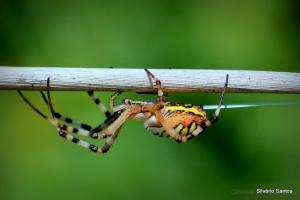 Macro/Argyope bruennichii (aranha tigre, aranha de jardi