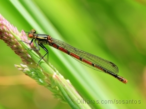 Outros/Large Red Damselfly (Pyrrhosoma nymphula)