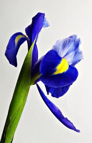 /Iris #2