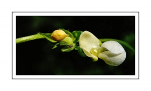 /Pea Flower