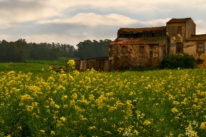 /Yellow Fields Forever