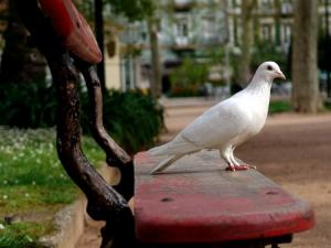 Animais/A pomba da paz