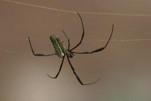 Animais/Aranha Nephila Clavips