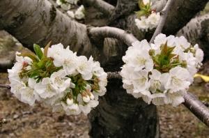 /Flor del cerezo