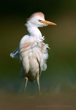 Animais/Garça-boieira (Bubulcus ibis)