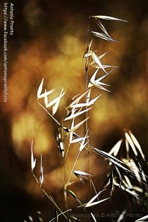 Outros/feno dourado - golden hay