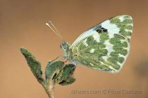 Animais/Esverdeada (Pontia daplidice)