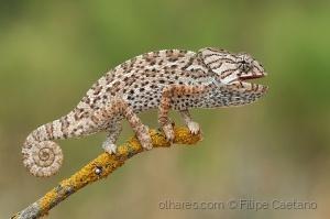 Animais/Camaleão (Chamaeleo chamaeleon)