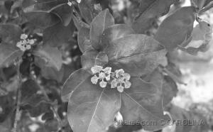Paisagem Natural/Flor de acerola