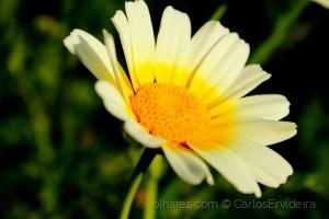 """Outros/""""Uma Flor"""""""